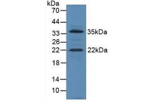 Image no. 2 for anti-Insulin-Like Growth Factor 1 (IGF1) (AA 49-153) antibody (ABIN1859294)