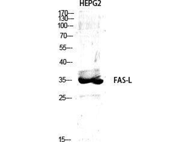 Western Blotting (WB) image for anti-Fas Ligand (TNF Superfamily, Member 6) (FASL) (Internal Region) antibody (ABIN3184595)