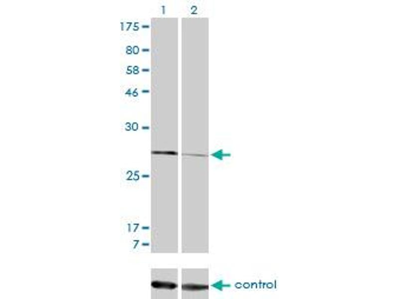 Western Blotting (WB) image for anti-Calpain, Small Subunit 1 (CAPNS1) (AA 172-260), (partial) antibody (ABIN560162)