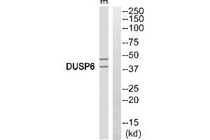 Image no. 3 for anti-Dual Specificity Phosphatase 6 (DUSP6) antibody (ABIN1576137)