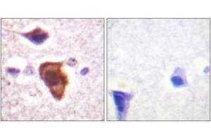 Image no. 2 for anti-Complement Component 5a Receptor 1 (C5AR1) (AA 301-350) antibody (ABIN1532564)
