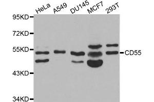 Western Blotting (WB) image for anti-CD55 antibody (Complement Decay-Accelerating Factor) (ABIN1871642)