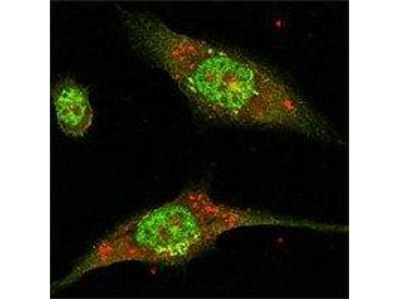 Immunofluorescence (IF) image for anti-Mitogen-Activated Protein Kinase 1 (MAPK1) antibody (ABIN258758)
