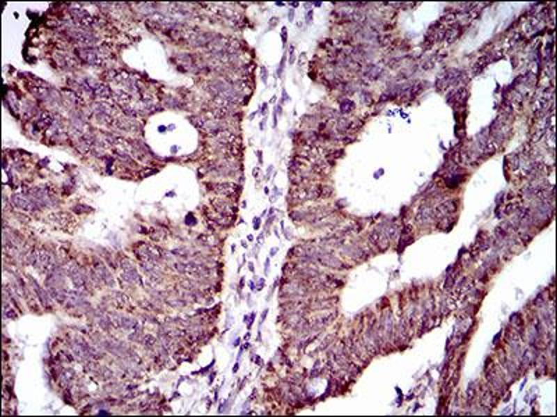 Image no. 2 for anti-ATP-Binding Cassette, Sub-Family G (WHITE), Member 5 (ABCG5) (AA 306-367) antibody (ABIN1724857)