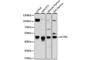 Image no. 1 for anti-ARP6 Actin-Related Protein 6 Homolog (Yeast) (ACTR6) antibody (ABIN6294023)