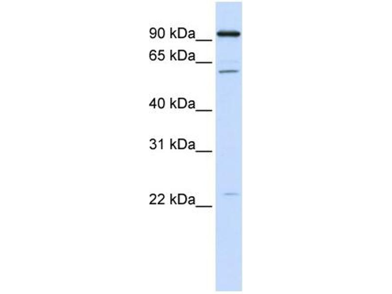 Image no. 1 for anti-Cell Division Cycle 45 Homolog (S. Cerevisiae) (CDC45) (C-Term) antibody (ABIN2784521)