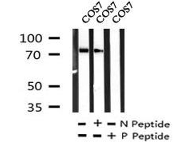 Image no. 5 for anti-Interferon gamma Receptor 1 (IFNGR1) (pTyr457) antibody (ABIN6269881)