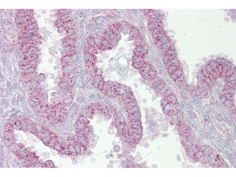 Immunohistochemistry (IHC) image for anti-CDK9 antibody (Cyclin-Dependent Kinase 9) (N-Term) (ABIN504585)
