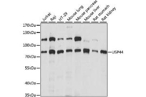 Image no. 1 for anti-Ubiquitin Specific Peptidase 44 (USP44) antibody (ABIN6292575)