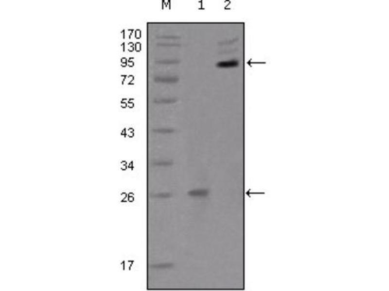 Western Blotting (WB) image for anti-EPH Receptor B2 (EPHB2) (AA 17-200) antibody (ABIN1843505)