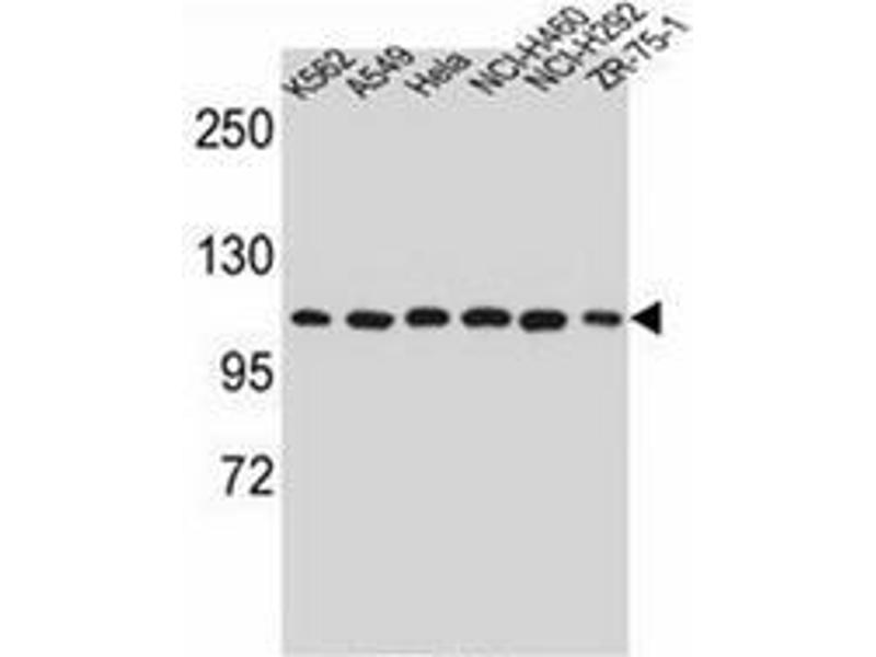 Western Blotting (WB) image for anti-Heat Shock Protein 90kDa beta (Grp94), Member 1 (HSP90B1) (AA 467-495), (Middle Region) antibody (ABIN952082)