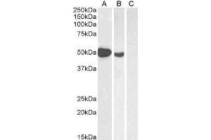 Image no. 3 for anti-Forkhead Box P3 (FOXP3) (C-Term) antibody (ABIN184677)