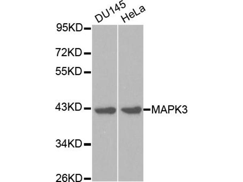 Image no. 1 for anti-Mitogen-Activated Protein Kinase 3 (MAPK3) antibody (ABIN6566514)