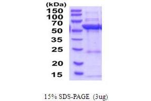 Image no. 1 for 3-Hydroxy-3-Methylglutaryl-CoA Synthase 1 (Soluble) (HMGCS1) (AA 1-520) protein (His tag) (ABIN6387587)