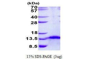 Image no. 1 for Chromosome 4 Open Reading Frame 7 (C4orf7) protein (ABIN2129197)