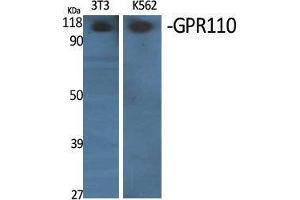 Image no. 1 for anti-G Protein-Coupled Receptor 110 (GPR110) (C-Term) antibody (ABIN3184835)