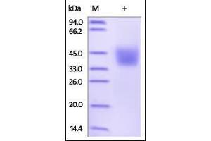 Image no. 1 for Programmed Cell Death 1 Ligand 2 (PDCD1LG2) (AA 20-219) (Active) protein (His tag) (ABIN2181599)