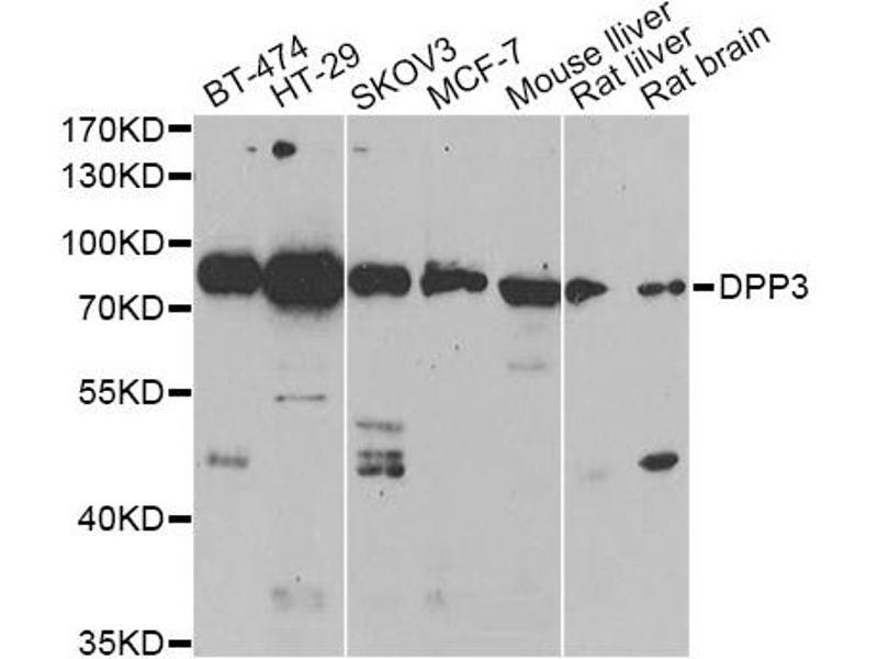 Image no. 2 for anti-Dipeptidyl-Peptidase 3 (DPP3) antibody (ABIN6567932)