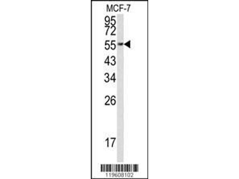Anti Eef1a1 Antibody Aa 361 389 C Term Product No Abin390521