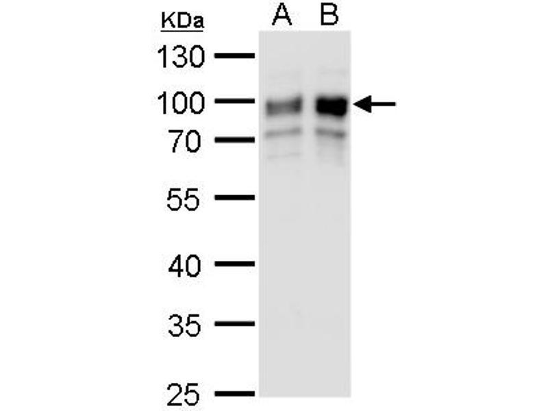 Western Blotting (WB) image for anti-Golgi Membrane Protein 1 (GOLM1) (C-Term) antibody (ABIN2856522)