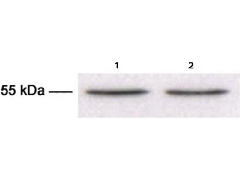 Western Blotting (WB) image for anti-TUBB3 antibody (Tubulin, Beta, 3) (ABIN1109374)