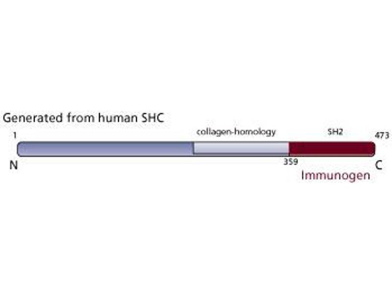 image for anti-SHC (Src Homology 2 Domain Containing) Transforming Protein 1 (SHC1) (AA 359-473) antibody (ABIN968229)