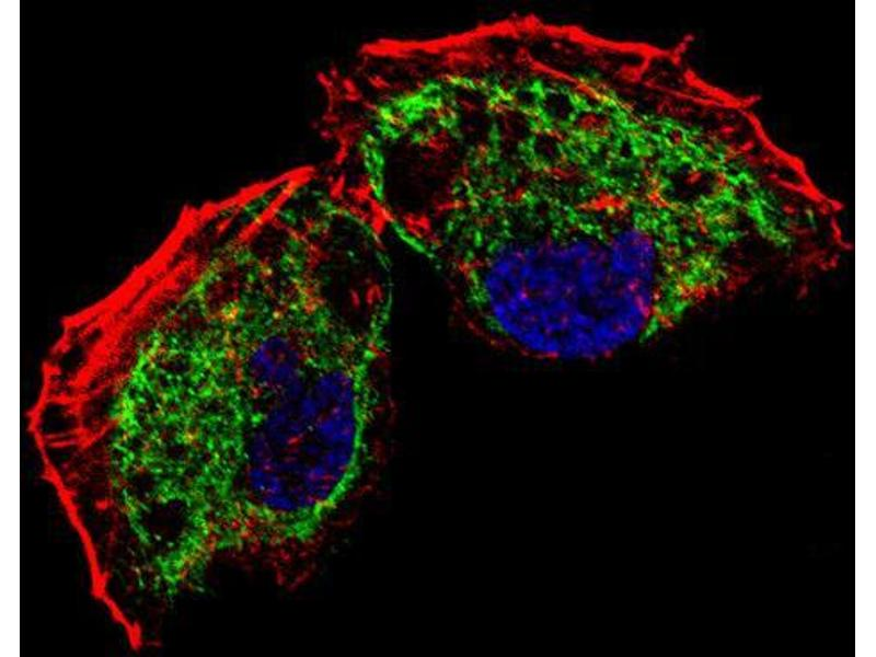 Immunofluorescence (IF) image for anti-Transcription Factor A, Mitochondrial (TFAM) (AA 216-246), (C-Term) antibody (ABIN654229)