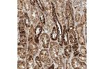 Immunohistochemistry (Paraffin-embedded Sections) (IHC (p)) image for anti-DDB1 and CUL4 Associated Factor 11 (DCAF11) antibody (ABIN4304464)