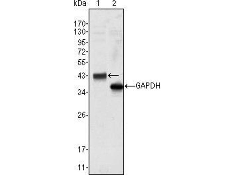 Western Blotting (WB) image for anti-WNT10B antibody (Wingless-Type MMTV Integration Site Family, Member 10B) (ABIN969459)