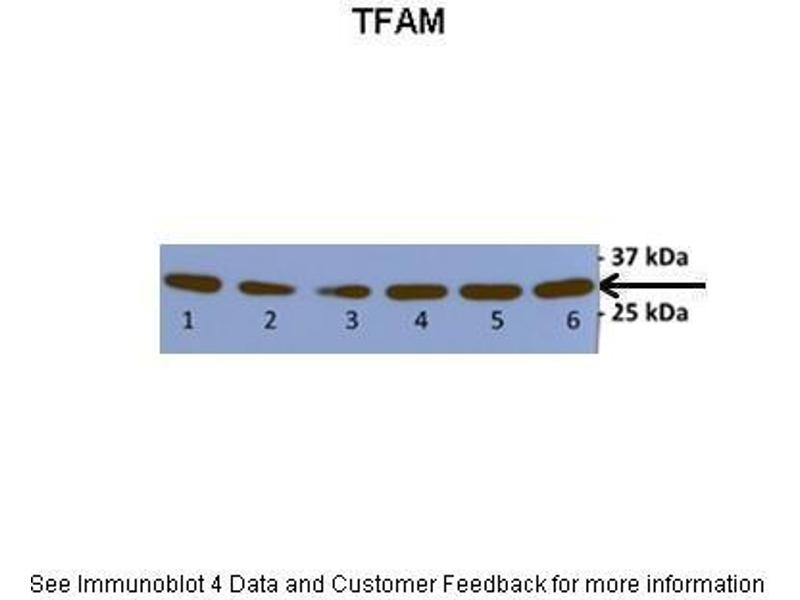 Western Blotting (WB) image for anti-Transcription Factor A, Mitochondrial (TFAM) (N-Term) antibody (ABIN2777277)