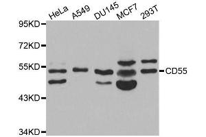 Image no. 2 for anti-Complement Decay-Accelerating Factor (CD55) antibody (ABIN3021785)