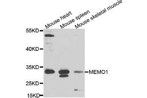 Image no. 1 for anti-Mediator of Cell Motility 1 (MEMO1) antibody (ABIN6571854)