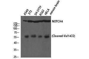 Western Blotting (WB) image for anti-Notch 4 (NOTCH4) (Val1432), (cleaved) antibody (ABIN3181823)