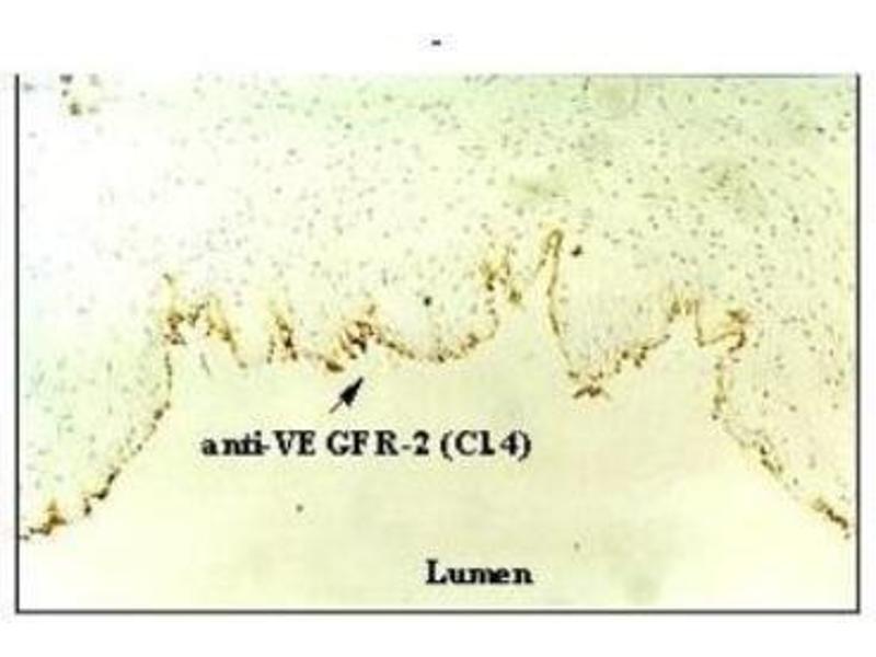 Immunohistochemistry (Frozen Sections) (IHC (fro)) image for anti-Kinase insert Domain Receptor (A Type III Receptor tyrosine Kinase) (KDR) antibody (ABIN449648)
