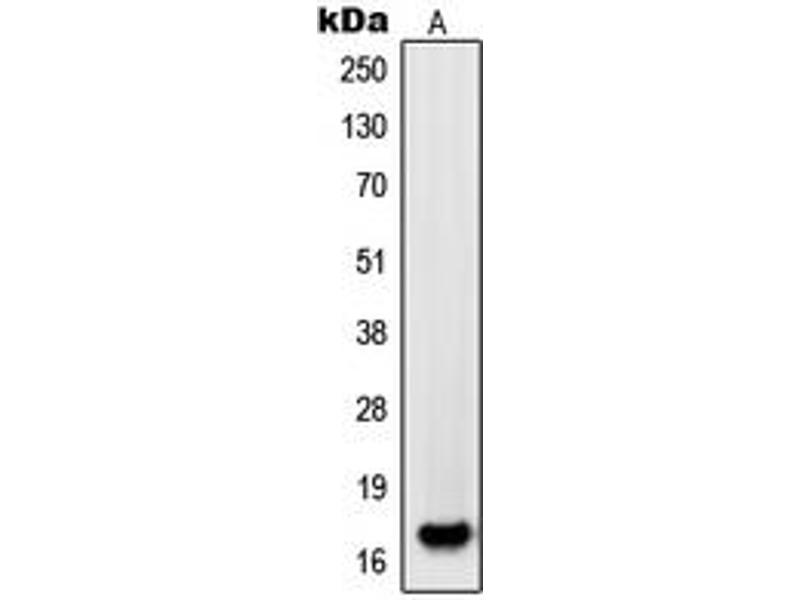 Western Blotting (WB) image for anti-Platelet-Derived Growth Factor alpha Polypeptide (PDGFA) (Center) antibody (ABIN2706781)