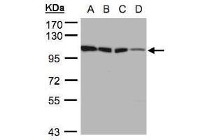 Image no. 1 for anti-Hexokinase 1 (HK1) (Center) antibody (ABIN2856070)