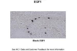 Image no. 2 for anti-Early Growth Response 1 (EGR1) (N-Term) antibody (ABIN2779828)