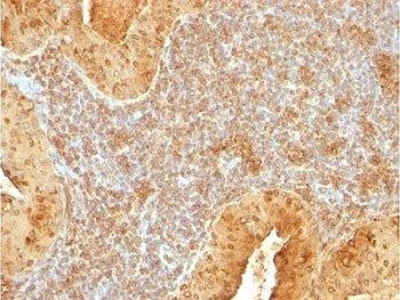 Immunohistochemistry (IHC) image for anti-Cytochrome C antibody (Cytochrome C, Somatic) (AA 1-80) (ABIN3025122)