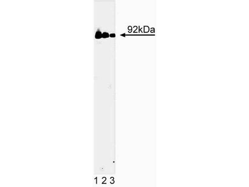 Western Blotting (WB) image for anti-STAT3 antibody (Signal Transducer and Activator of Transcription 3 (Acute-Phase Response Factor)) (AA 1-175) (ABIN967809)
