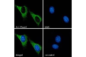 Image no. 5 for anti-PYD and CARD Domain Containing (PYCARD) (Internal Region) antibody (ABIN1590015)