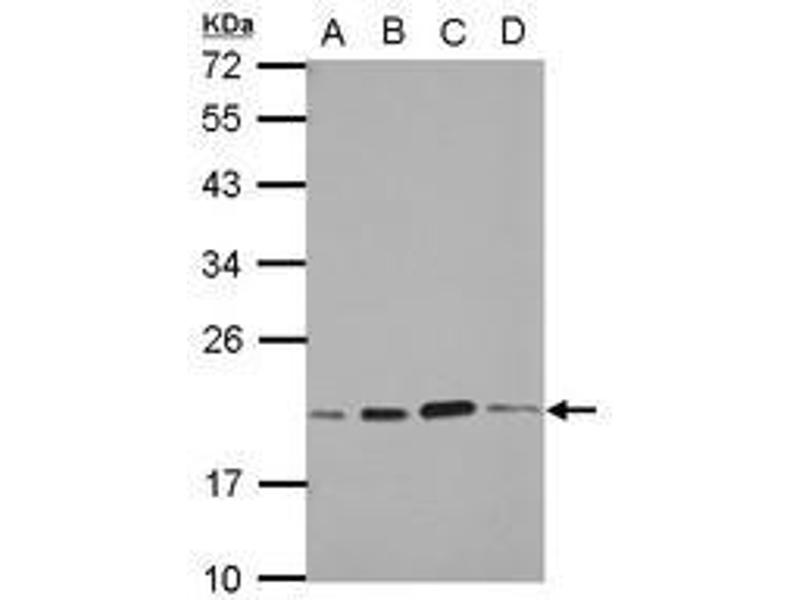 image for anti-S-Phase Kinase-Associated Protein 1 (SKP1) (AA 1-163) antibody (ABIN1500944)