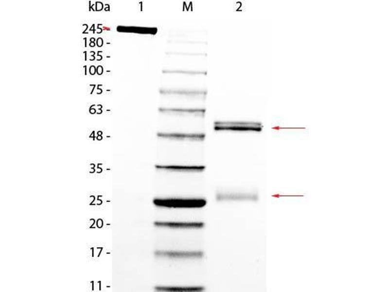 SDS-PAGE (SDS) image for Rat IgG isotype control (ABIN5633246)