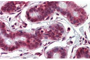 Image no. 4 for anti-Notch 4 (NOTCH4) (Middle Region) antibody (ABIN2777550)
