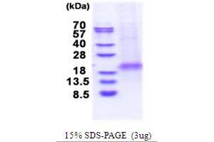 Image no. 1 for XiAP Associated Factor 1 (XAF1) (AA 1-125) protein (His tag) (ABIN5853700)