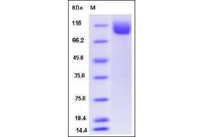 Image no. 1 for N-Acetylated alpha-Linked Acidic Dipeptidase-Like 1 (NAALADL1) (AA 29-745) protein (His tag) (ABIN2215911)