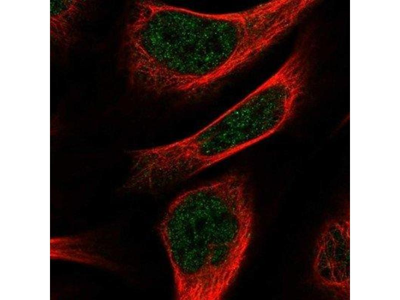 Immunofluorescence (IF) image for anti-RNA Binding Protein, Fox-1 Homolog (C. Elegans) 3 (RBFOX3) antibody (ABIN4349540)