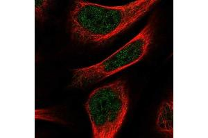 Immunofluorescence (IF) image for anti-NEUN 抗体 (RNA Binding Protein, Fox-1 Homolog (C. Elegans) 3) (ABIN4349540)