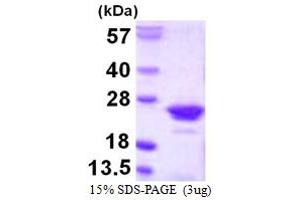 Image no. 1 for Regulator of G-Protein Signaling 10 (RGS10) (AA 1-181) protein (His tag) (ABIN667506)