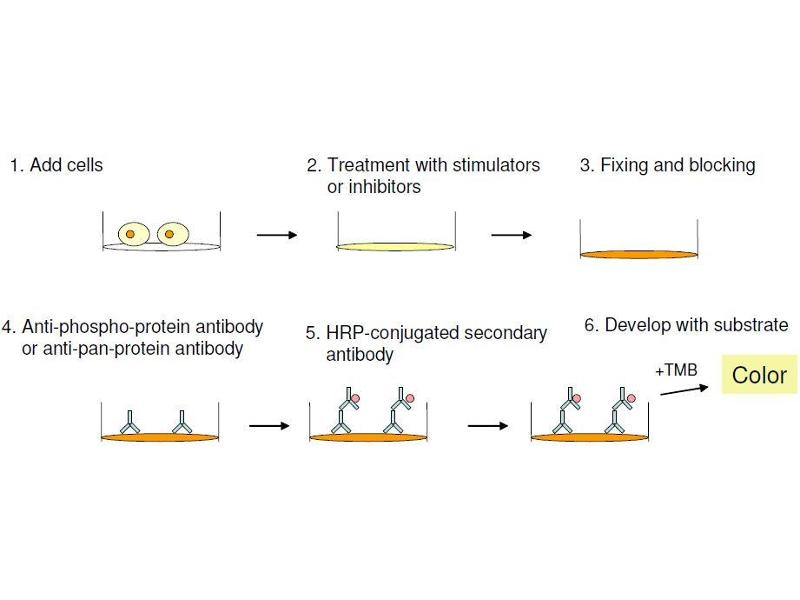image for Signal Transducer and Activator of Transcription 5A (STAT5A) ELISA Kit (ABIN1981843)