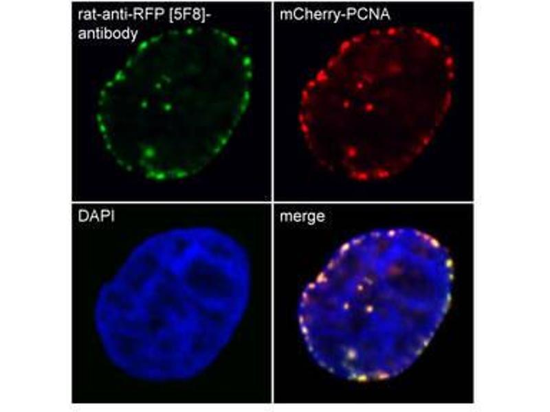 Immunofluorescence (IF) image for anti-Red Fluorescent Protein (RFP) antibody (ABIN334653)